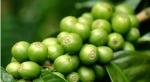 Conheça o Café Verde